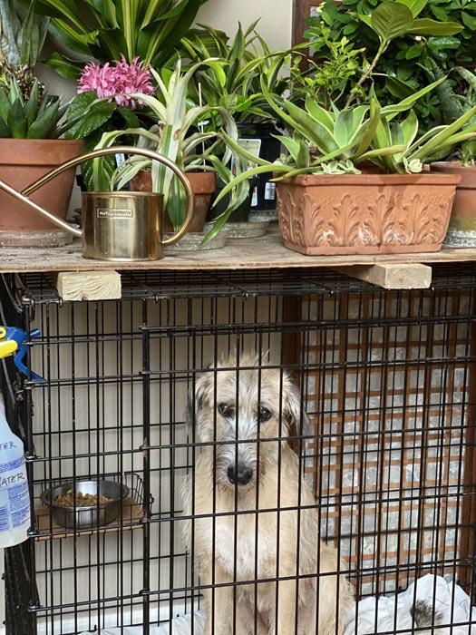Irish Wolfhound in crate